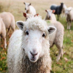 Why are we called sheep?